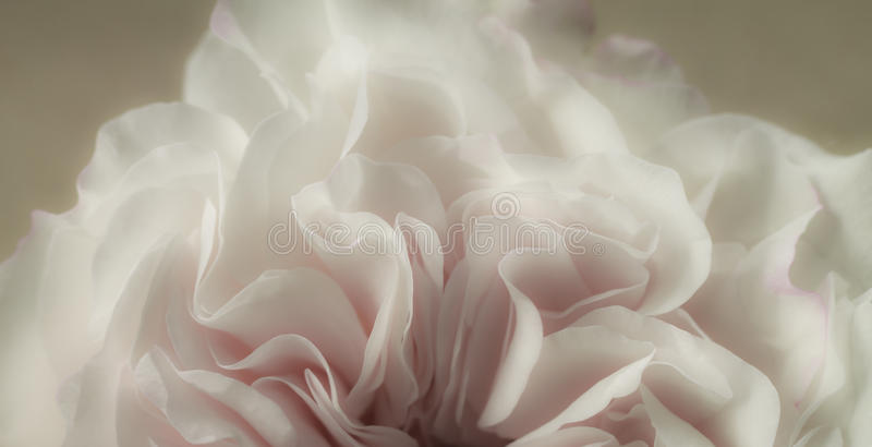 Download Rose petals stock photo. Image of freshness, bloom, festive - 26718096