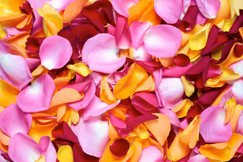 Rose Petals foto de stock royalty free