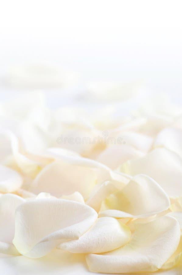 Download Rose petals stock image. Image of delicate, closeup, close - 4196391