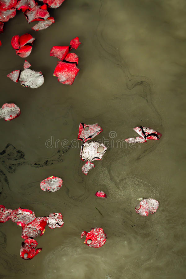 Rose Petals Ashes Lake Water. Rose petals float with ashes and droplets of water as a family says goodbye to a loved one at a favorite lake stock photo
