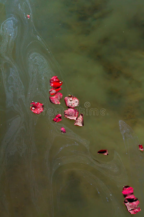 Rose Petals and Ashes On Murky Water. Rose petals with droplets of water and the ashes of a loved one float on and sink into the lake water they were scattered stock photos