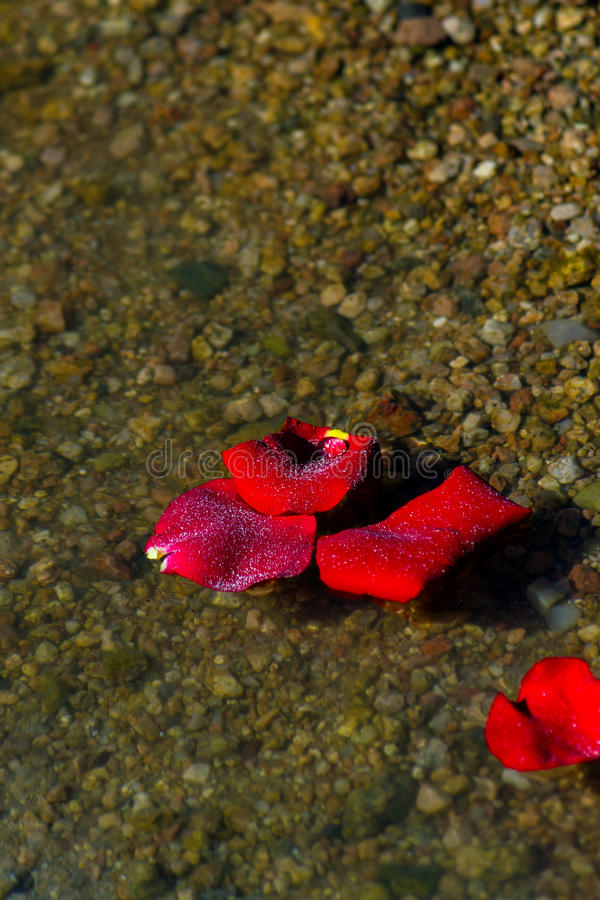 Rose Petals With Ashes On A Rocky Shore. A close up image of a few rose petals that have washed up on a rocky shore after being sprinkled with ashes during a royalty free stock photo