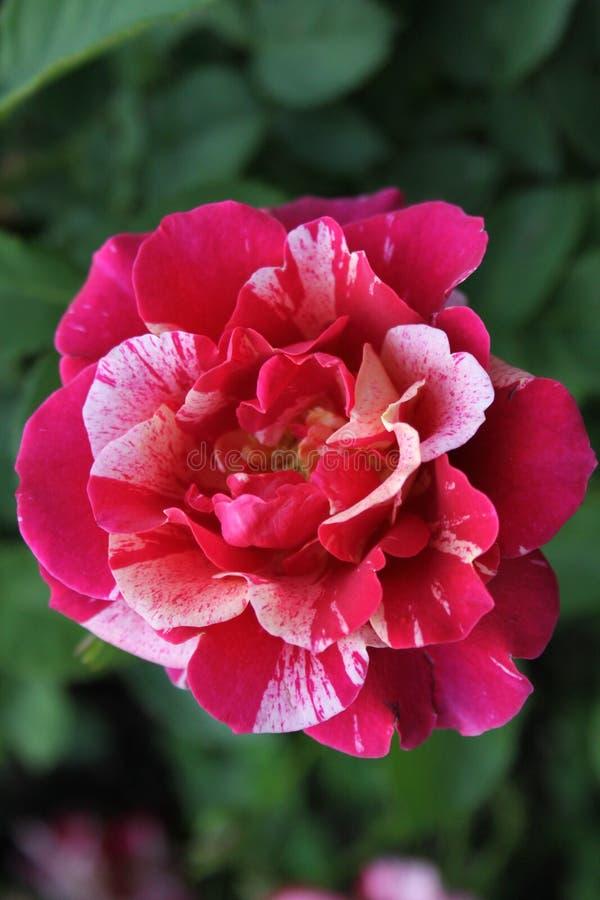 Rose Petals et lumi?re vari?es 2019 de ?galiser photographie stock