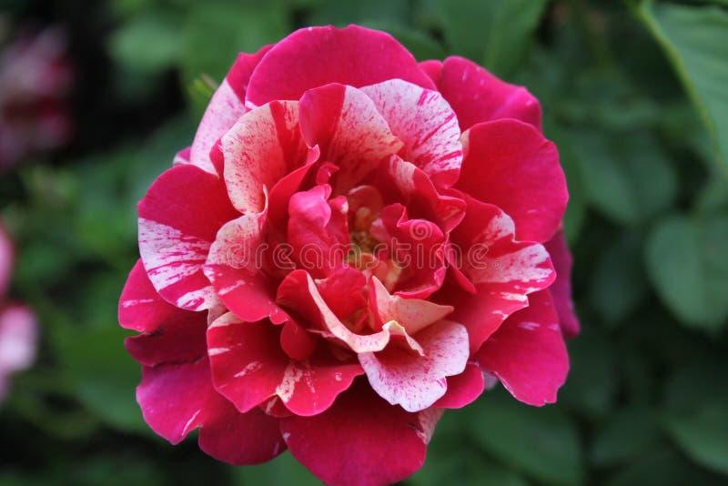 Rose Petals et lumi?re vari?es de soir?e I 2019 image libre de droits