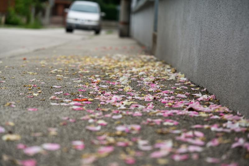 Rose petals on the road. Slovakia stock image