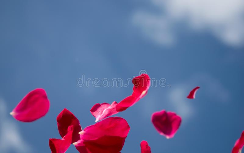 Ilustration.Rose petals floating in the clear air- beauty and fragility stock photos