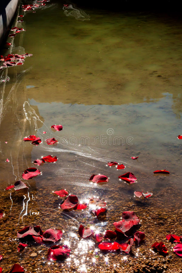 Rose Petals Floating To Shore With Ashes. A group of rose petals floats to shore after scattering them with the ashes of a loved one stock photo