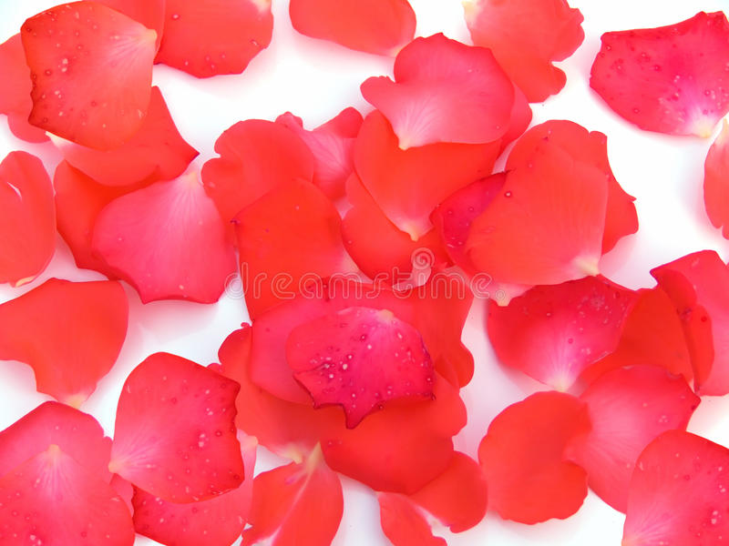 Rose petals flower royalty free stock photos