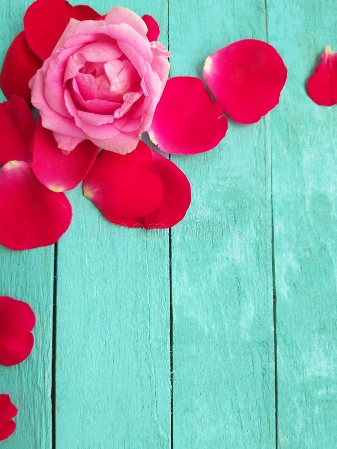 Rose with petals royalty free stock photography