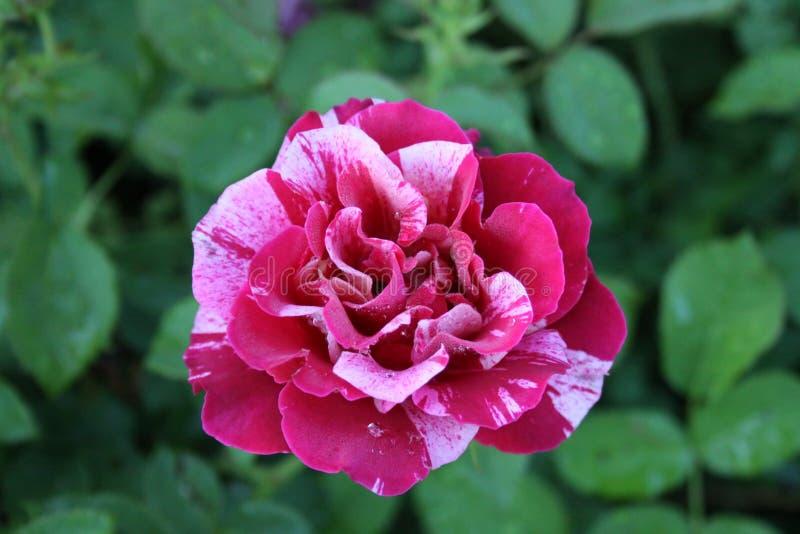 Rose Petals vari?e 2019 III photographie stock libre de droits