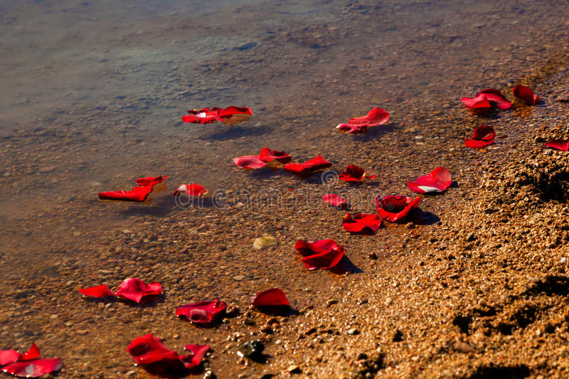 Rose Petals Washing Up On Shore. Rose petals washing up on the shore of a lake after they were scattered along with the ashes of a loved one stock photo