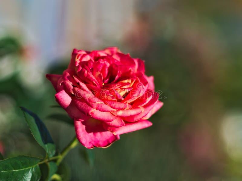 rose piękna obraz royalty free