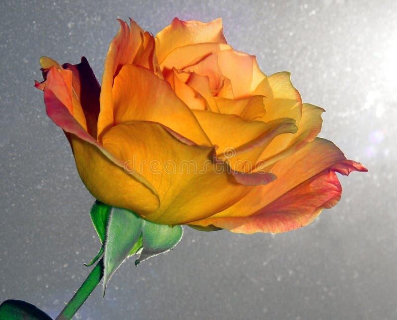 Download Rose piękna obraz stock. Obraz złożonej z piękny, pomarańcze - 47153