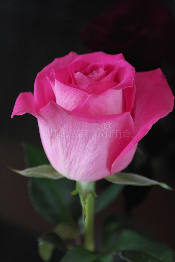 Rose, pink, bud, one rose against a dark background. Rose, pink, bud, single rose on a dark background, large bud, beautiful rose, greeting card rose, Valentine` royalty free stock photo