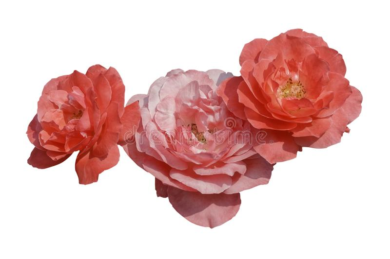 Rose pink color Blossom booming isolated royalty free stock image