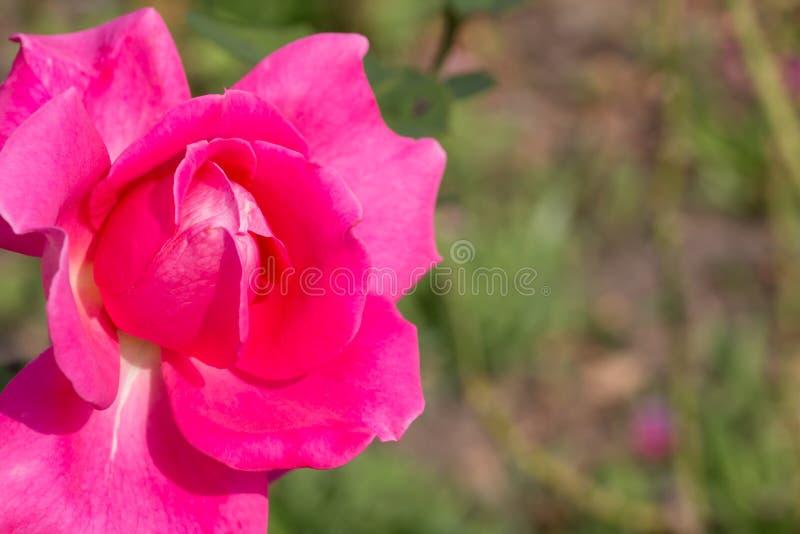 Rose Pink Flower stock afbeeldingen