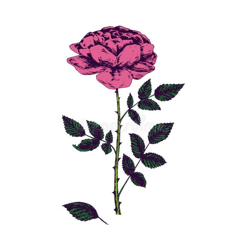 Rose pink flower, stem with thorns, leaves and blosom, hand drawn doodle, sketch, vector illustration royalty free illustration