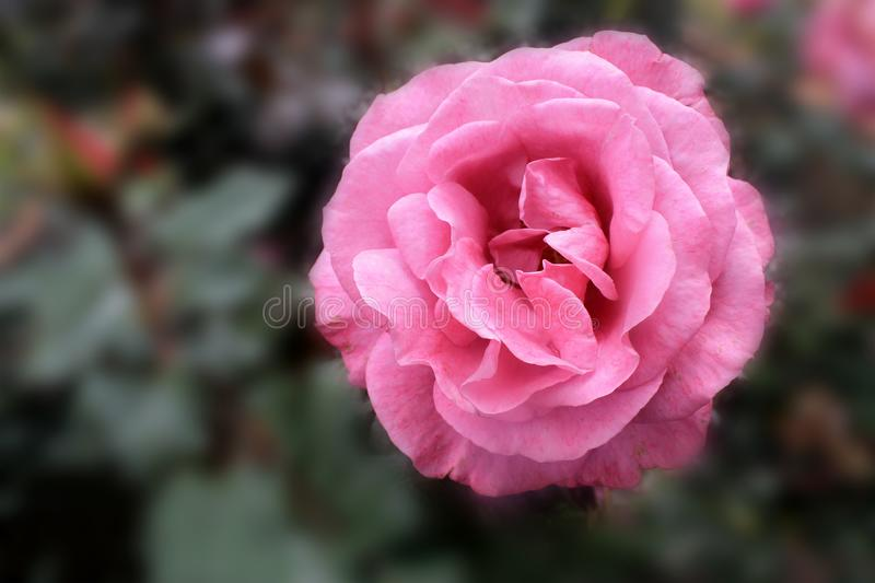 A beautiful rose pink in the garden royalty free stock photo