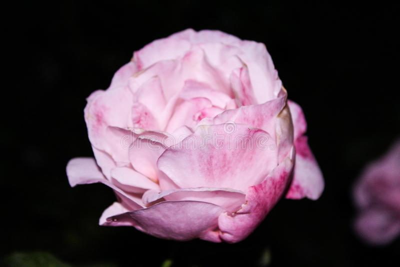 Rose pink royalty free stock photography