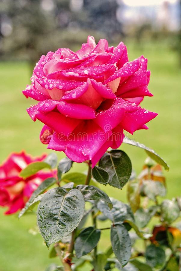 Rose with pink petals blossoming on sunny day stock photo