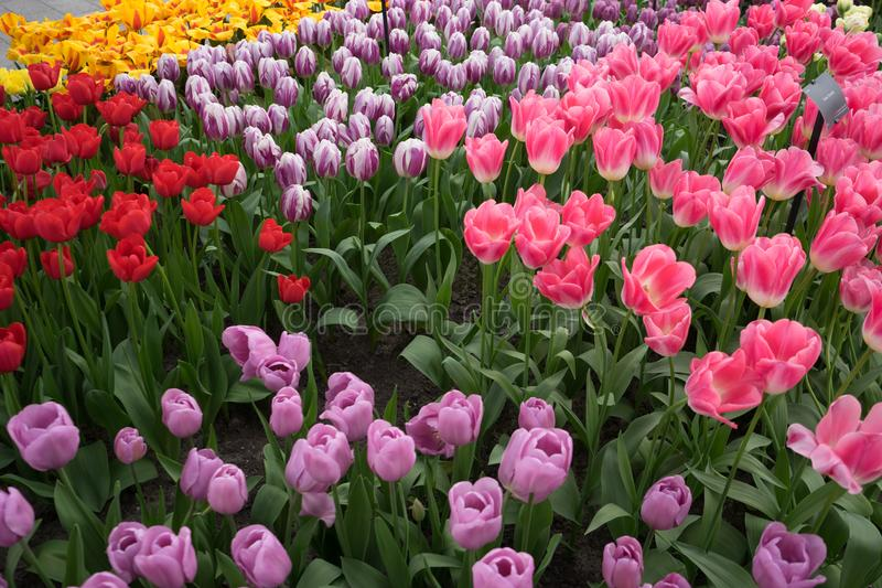 Rose, Pink, Red and Yellow colored tulips in a garden at Lisse, royalty free stock images