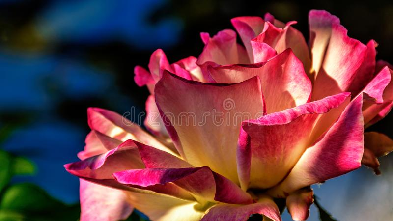 A rose with pink and white flowers royalty free stock photography