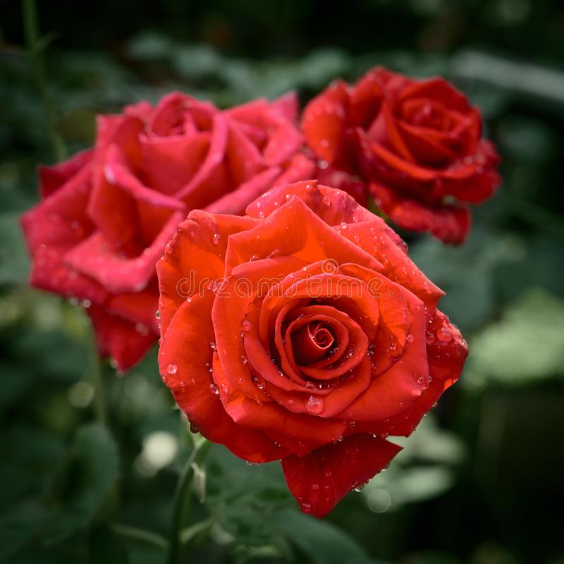 Rose plant with bright red flowers with water drops on petals. On green leves background royalty free stock photography