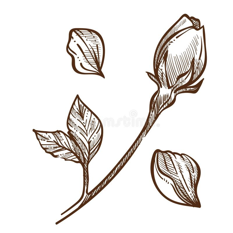 Rose plant closed bud on stem and petals isolated sketch. Vector flower botany and floristry romantic gift cultivation and growing garden blossom and leaves vector illustration