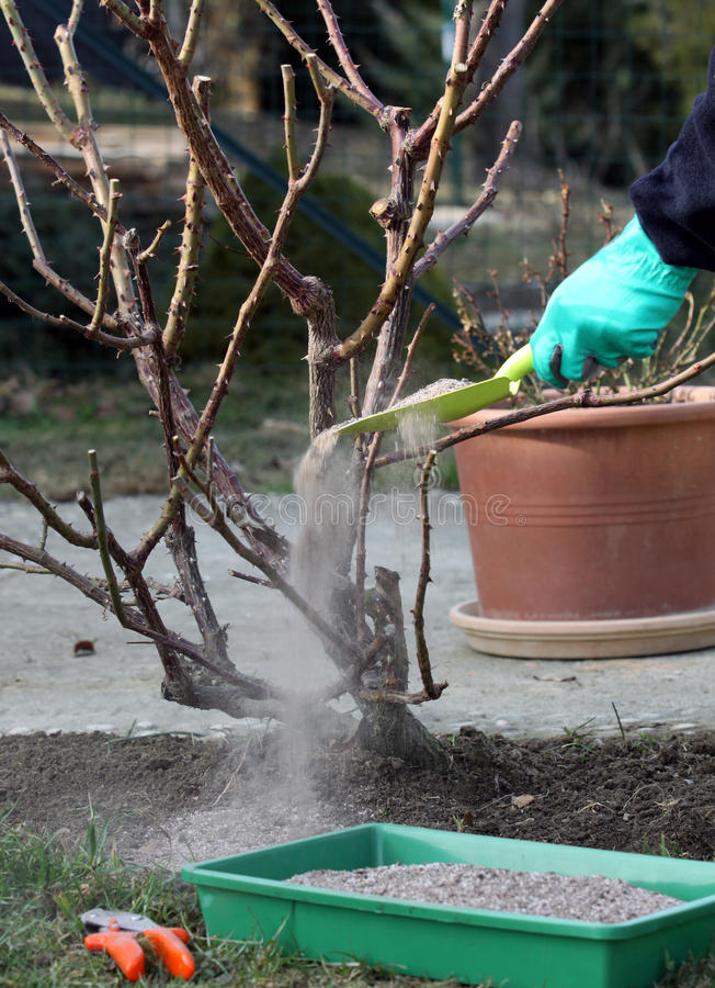 Download Rose Plant Fertilize And Cutting Stock Photo - Image: 23677664