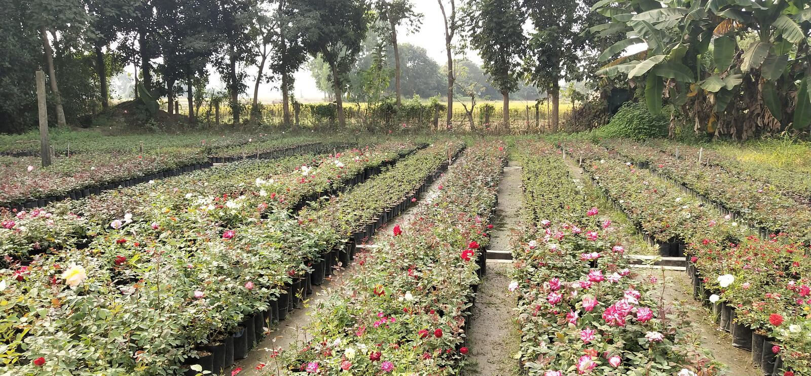 Rose Plants. IN India Many places To Get Rose Plants, Paschim Medinipur. West Bengal. Rupnarayanpur stock photography