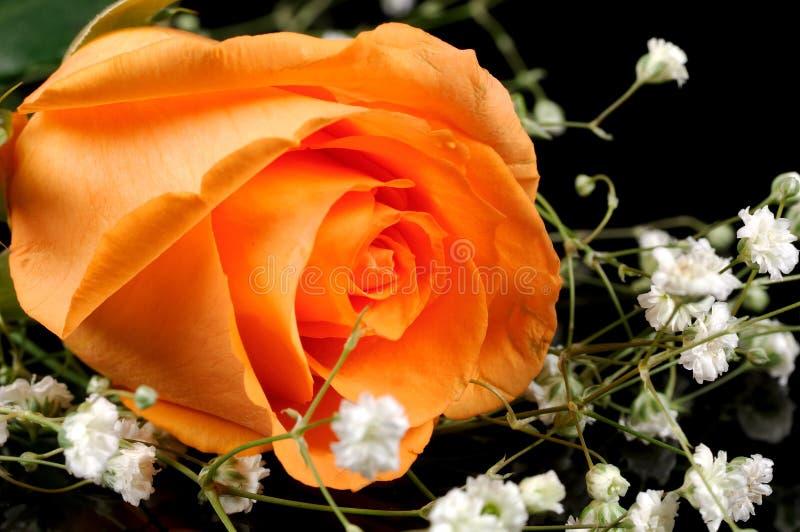 rose pomarańczy zdjęcia stock