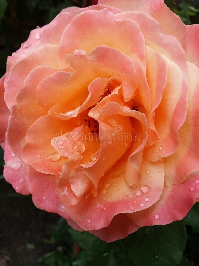 rose pomarańczy obrazy royalty free