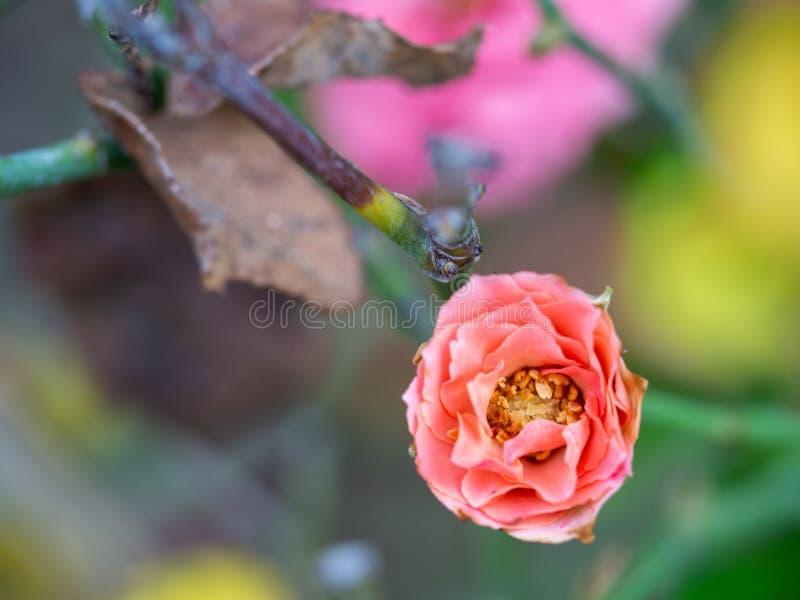 Rose pompon, pygmée rouge Rose, Rosa rouge chinensis, Rosachinensis Jacq var minimum Voss photo libre de droits