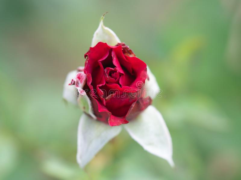 Rose pompon, pygmée rouge Rose, Rosa rouge chinensis, Rosachinensis Jacq var Rosaceae de Voss de minimum photo stock
