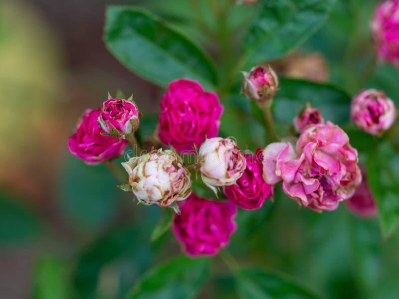 Rose pompon, pygmée rouge Rose, Rosa rouge chinensis, Rosachinensis Jacq var Rosaceae de Voss de minimum photos stock