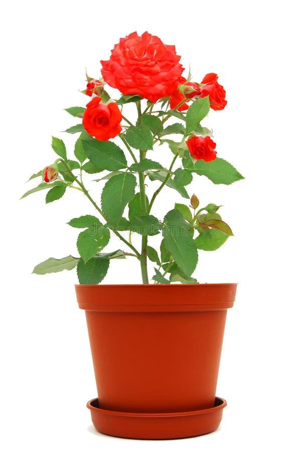 Download Rose pot stock image. Image of freshness, plant, caring - 19983679
