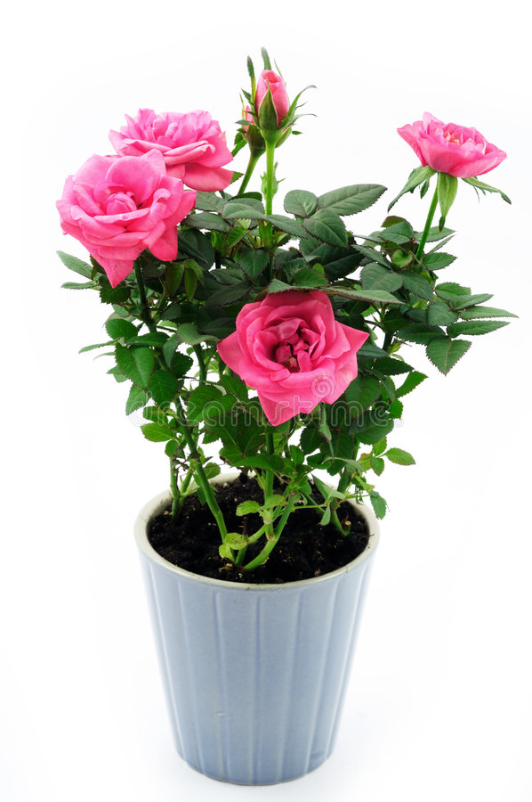 Download Rose in the pot stock image. Image of nature, pink, blossom - 9056015