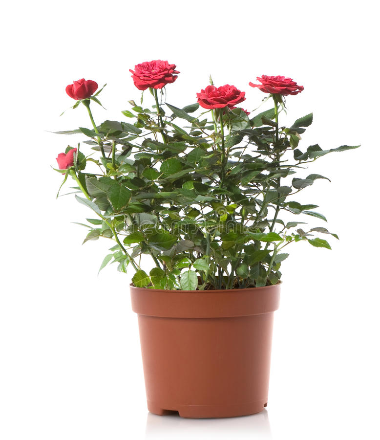 Rose pot flower stock image Image of fresh leaves bloom