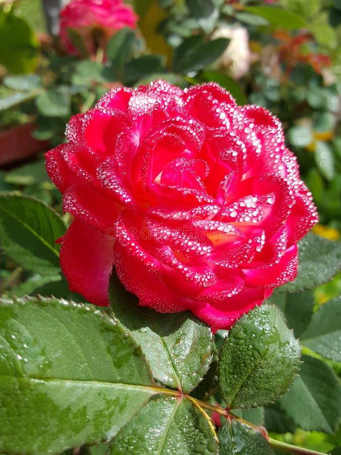 Rose pour l'amour images stock