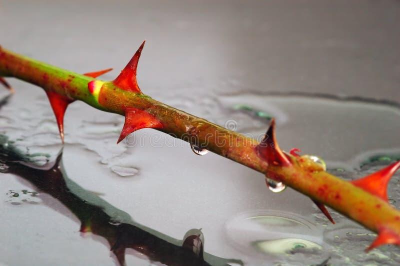 Rose Prickles im Regen lizenzfreies stockfoto