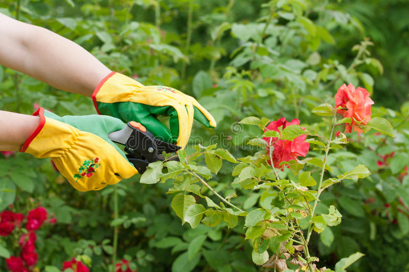 Download Rose pruning stock image. Image of close, finger, blossom - 25752655