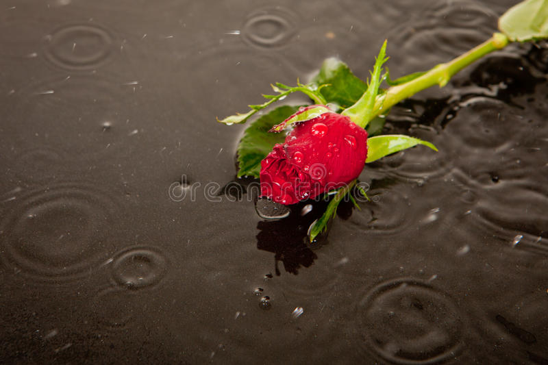 Lost love and death concept. Rose in puddle in road as concept for death and lost love stock photos