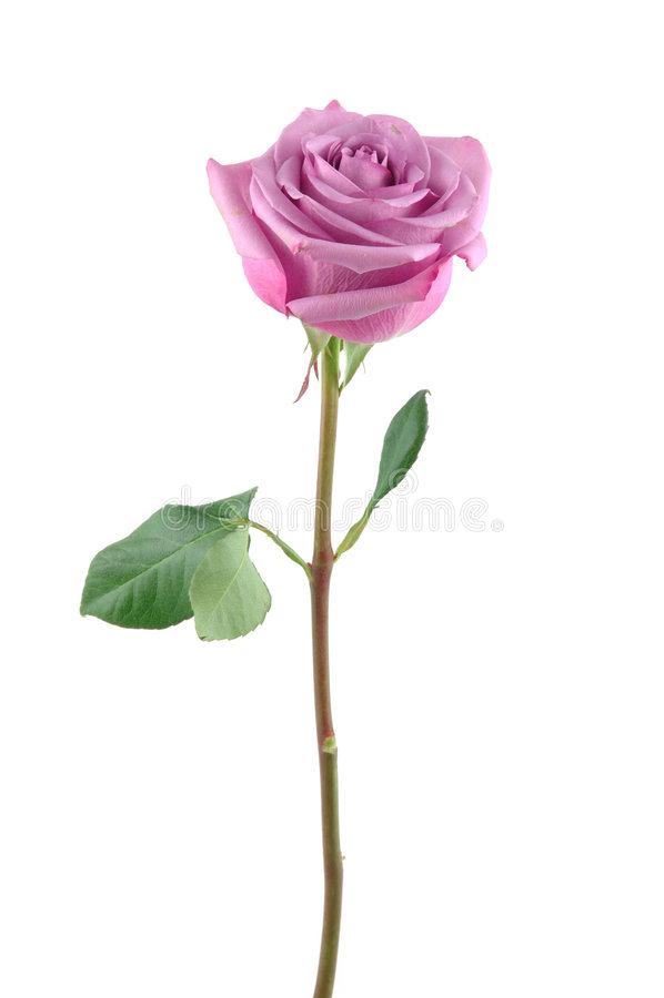 rose purpurowy obrazy stock