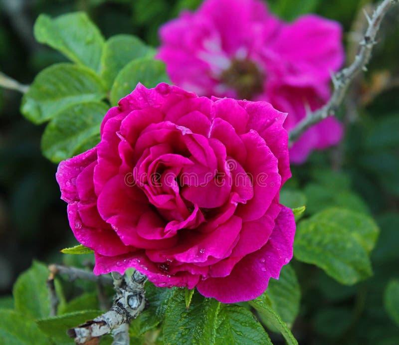 Rose que florece fotos de archivo