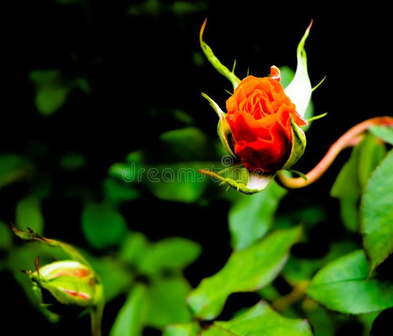 Rose que sube fuera de su arbusto imágenes de archivo libres de regalías