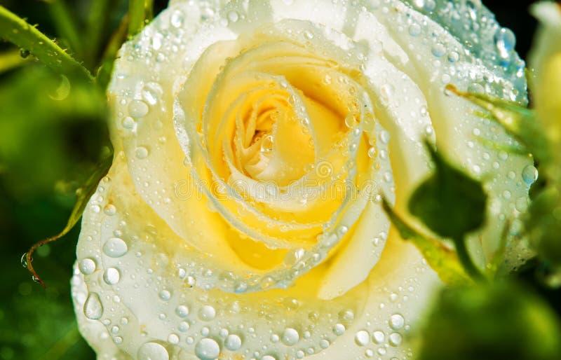 Rose After Rain blanca fotos de archivo libres de regalías