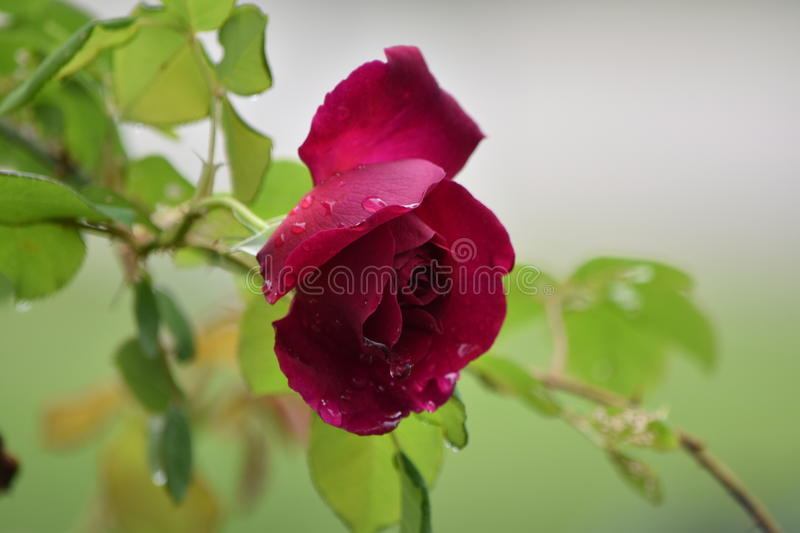 Rose with rain drops stock photography