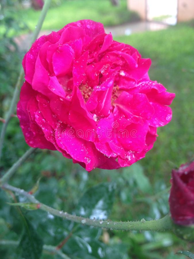 Rose in the rain royalty free stock image