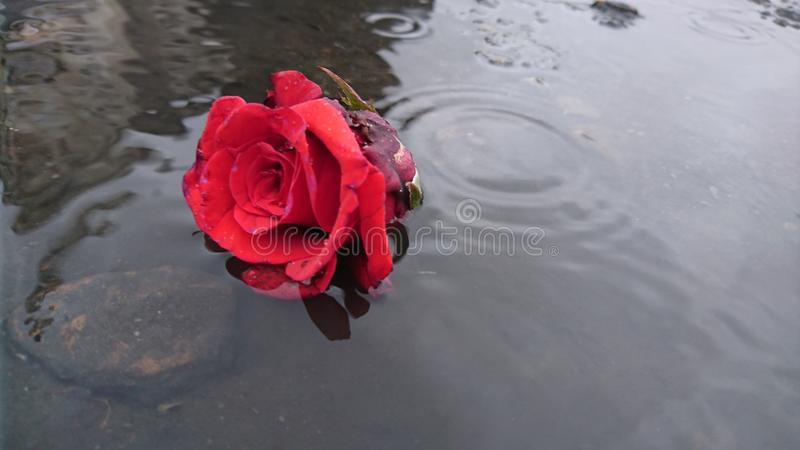 Rose in the rain stock photography