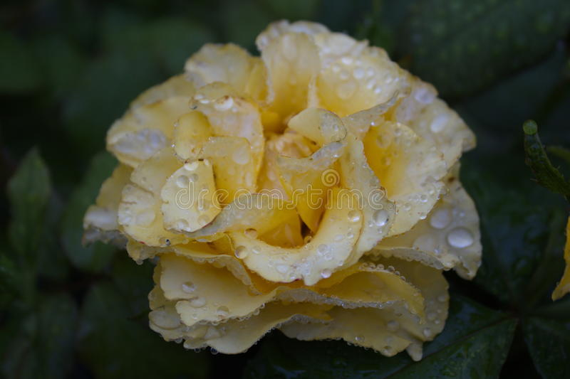 The rose after the rain stock photography
